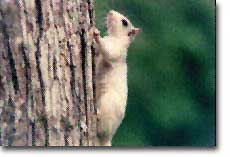 white squirrel 1