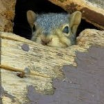 squirrelinattic2