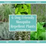 6 dog friendly mosquito repellent plants